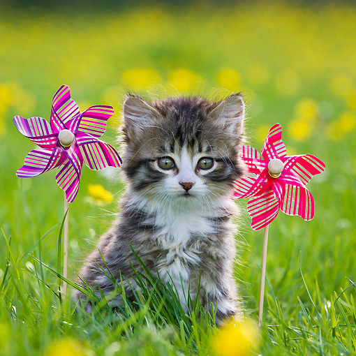 CAT 03 KH0598 01 © Kimball Stock Tabby Kitten Sitting By Windmills In Garden Of Buttercups France
