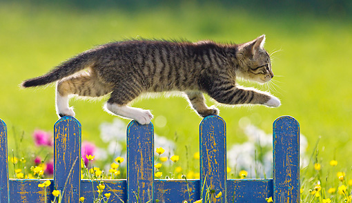 CAT 03 KH0599 01 © Kimball Stock White And Tabby Kitten Walking Along Blue Fence In Garden France