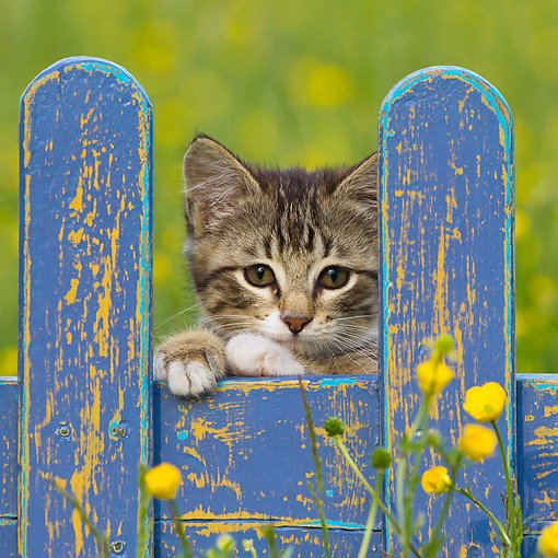 CAT 03 KH0600 01 © Kimball Stock White And Tabby Kitten Looking Through Blue Fence In Garden France
