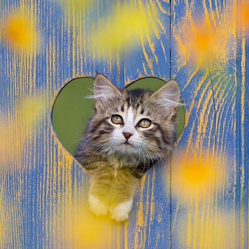 CAT 03 KH0601 01 © Kimball Stock Tabby Kitten Looking Through Heart Cutout In Blue Fence France