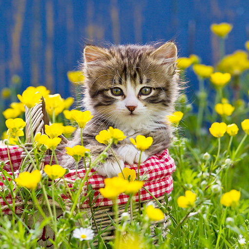 CAT 03 KH0607 01 © Kimball Stock Tabby Kitten Sitting In Basket Among Buttercups France