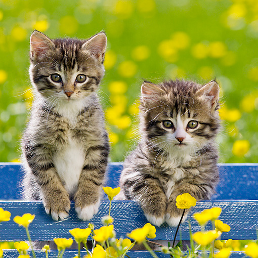 CAT 03 KH0608 01 © Kimball Stock Two Tabby Kittens Sitting In Blue Crate Among Buttercups France
