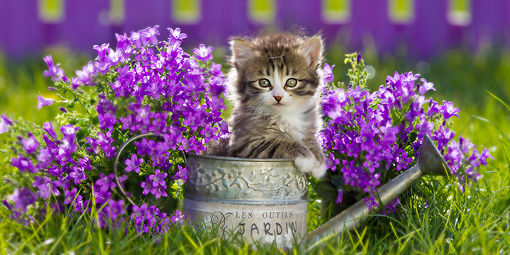 CAT 03 KH0609 01 © Kimball Stock White And Tabby Kitten Sitting In Watering Can By Bluebells France