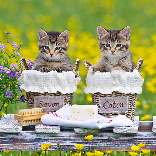 CAT 03 KH0613 01 © Kimball Stock Two Tabby Kittens Sitting In Soap And Cotton Baskets Among Buttercups France