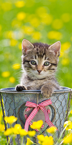 CAT 03 KH0614 01 © Kimball Stock Tabby Kitten Sitting In Pot Among Buttercups France