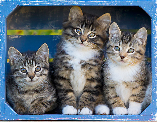 CAT 03 KH0616 01 © Kimball Stock Three Tabby Kittens Sitting In Blue Crate France