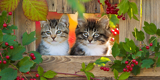 CAT 03 KH0617 01 © Kimball Stock Two Tabby Kittens Sitting In Opening Of Fence In Autumn France