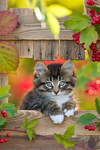 CAT 03 KH0618 01 © Kimball Stock Tabby Kittens Sitting In Opening Of Fence In Autumn France