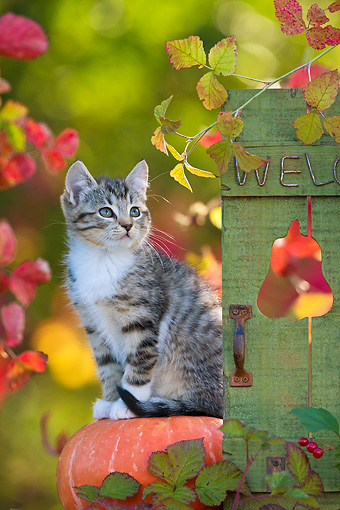 CAT 03 KH0620 01 © Kimball Stock White And Tabby Kitten Sitting On Pumpkin By Autumn Leaves France