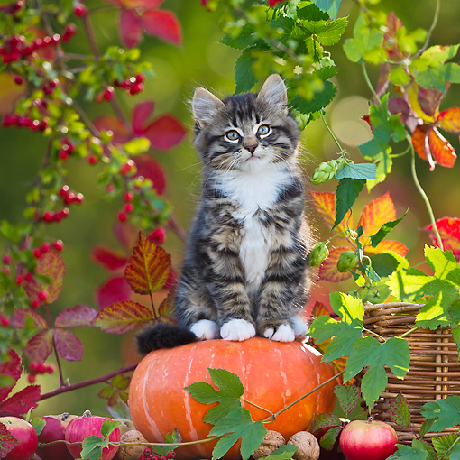 CAT 03 KH0622 01 © Kimball Stock White And Tabby Kitten Sitting On Pumpkin By Autumn Leaves France