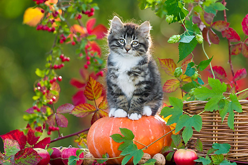 CAT 03 KH0623 01 © Kimball Stock White And Tabby Kitten Sitting On Pumpkin By Autumn Leaves France