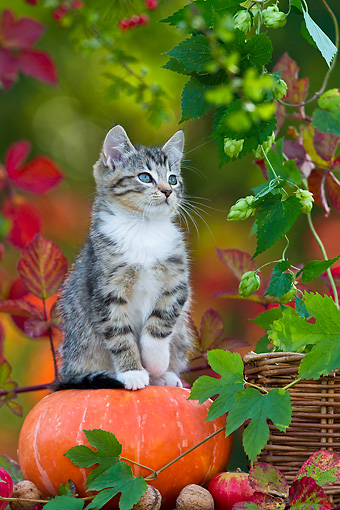 CAT 03 KH0624 01 © Kimball Stock White And Tabby Kitten Sitting On Pumpkin By Autumn Leaves France