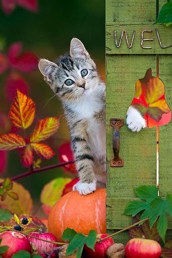 CAT 03 KH0625 01 © Kimball Stock White And Tabby Kitten Sitting On Pumpkin By Autumn Leaves France