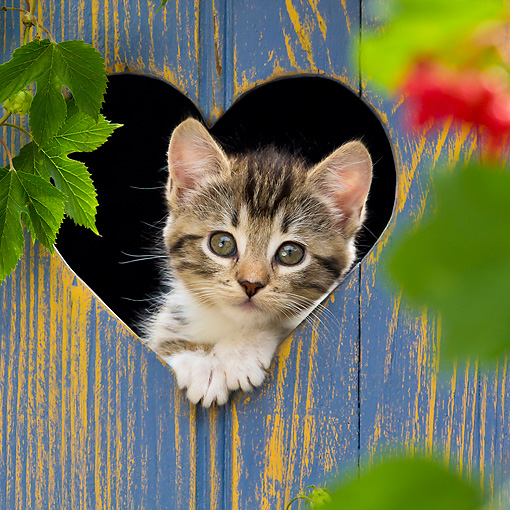 CAT 03 KH0627 01 © Kimball Stock White And Tabby Kitten Looking Through Heart Cutout In Blue Fence France