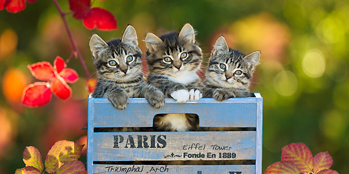 CAT 03 KH0629 01 © Kimball Stock Three Tabby Kittens Sitting In Blue Crate By Autumn Leaves France