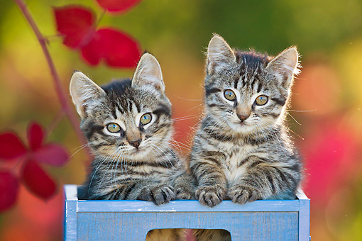 CAT 03 KH0630 01 © Kimball Stock Two Tabby Kittens Sitting In Blue Crate By Autumn Leaves France