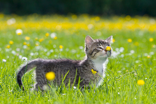 CAT 03 KH0631 01 © Kimball Stock Tabby Kitten Standing In Meadow With Buttercups France
