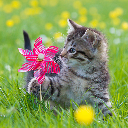 CAT 03 KH0633 01 © Kimball Stock Tabby Kitten Playing With Toy Windmill In Meadow With Buttercups France