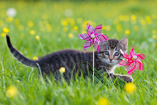 CAT 03 KH0634 01 © Kimball Stock Tabby Kitten Playing With Toy Windmills In Meadow With Buttercups France
