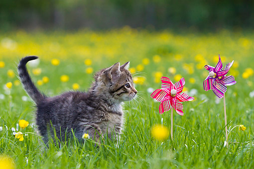 CAT 03 KH0635 01 © Kimball Stock Tabby Kitten Playing With Toy Windmills In Meadow With Buttercups France