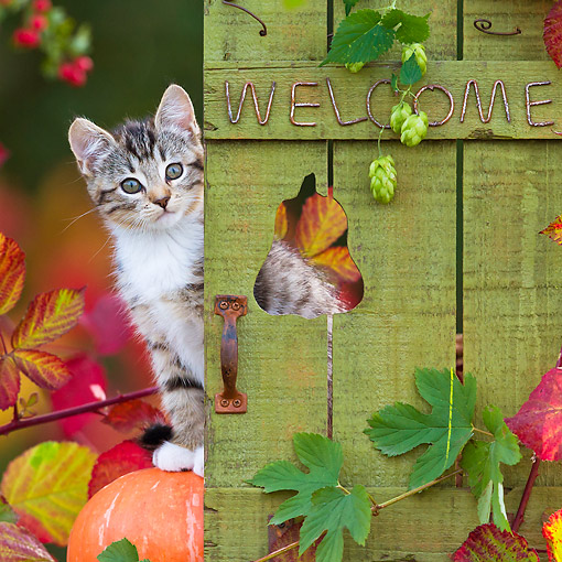 CAT 03 KH0639 01 © Kimball Stock Tabby And White Kitten Sitting On Pumpkin By Autumn Leaves And Welcome Gate