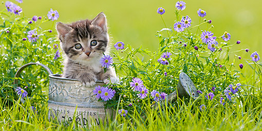 CAT 03 KH0641 01 © Kimball Stock Tabby And White Kitten Sitting In Watering Can In Garden