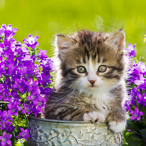 CAT 03 KH0643 01 © Kimball Stock Tabby And White Kitten Sitting In Watering Can Beside Blubells In Garden