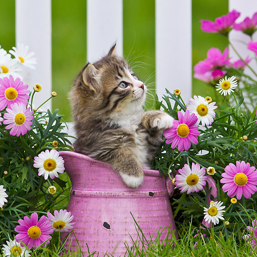 CAT 03 KH0644 01 © Kimball Stock Tabby And White Kitten Sitting In Pink Watering Can In Garden