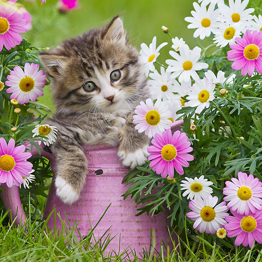 CAT 03 KH0645 01 © Kimball Stock Tabby And White Kitten Sitting In Pink Watering Can In Garden