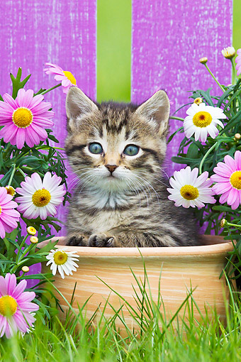 CAT 03 KH0646 01 © Kimball Stock Tabby Kitten Sitting In Flower Pot In Garden