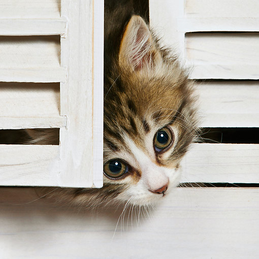CAT 03 KH0650 01 © Kimball Stock Tabby And White Kitten Peeking Head Out From White Shutters