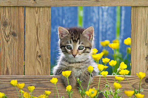 CAT 03 KH0651 01 © Kimball Stock Tabby Kitten Sitting In Opening Of Fence By Buttercups