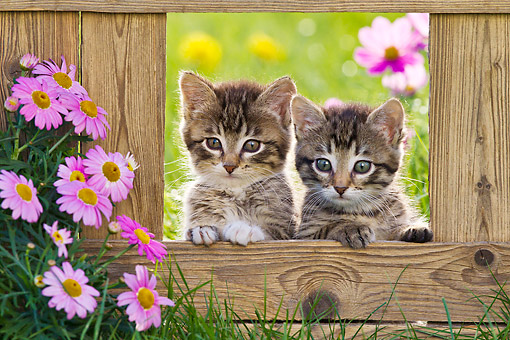 CAT 03 KH0652 01 © Kimball Stock Two Tabby Kittens Sitting In Opening Of Fence By Pink Flowers
