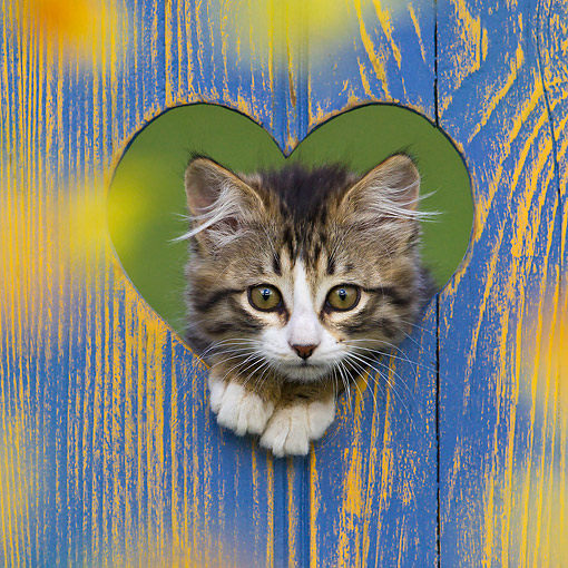 CAT 03 KH0653 01 © Kimball Stock Tabby Kitten Peeking Through Heart-Shaped Opening In Fence