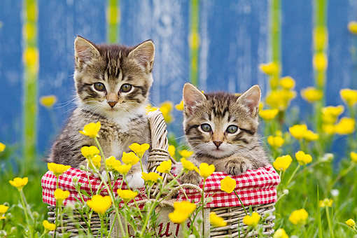 CAT 03 KH0654 01 © Kimball Stock Two Tabby Kittens Sitting In Picnic Basket Among Buttercups
