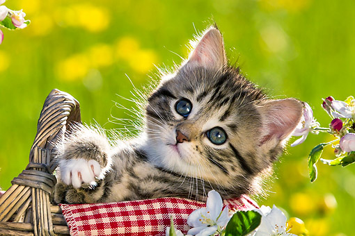 CAT 03 KH0655 01 © Kimball Stock Tabby Kitten Sitting In Picnic Basket Among Buttercups And Apple Blossoms
