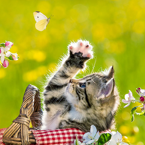 CAT 03 KH0656 01 © Kimball Stock Tabby Kitten In Picnic Basket Trying To Catch Butterfly Among Apple Blossoms