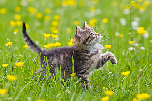 CAT 03 KH0658 01 © Kimball Stock Tabby Kitten Walking Through Field Of Buttercups