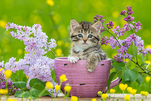 CAT 03 KH0661 01 © Kimball Stock Tabby Kitten Sitting In Pink Mug By Lilac Blossoms