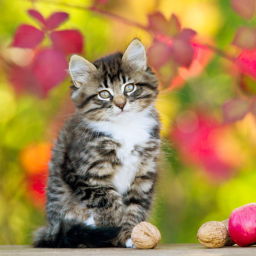 CAT 03 KH0664 01 © Kimball Stock Tabby And White Kitten Sitting By Apples And Walnuts In Autumn