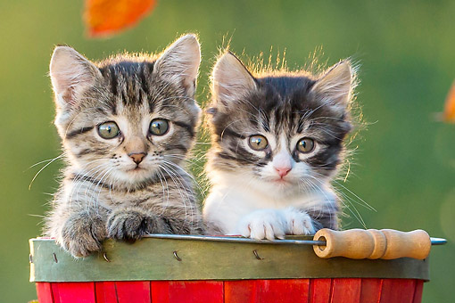 CAT 03 KH0666 01 © Kimball Stock Close-Up Of Two Tabby Kittens Sitting In Wooden Bucket In Autumn