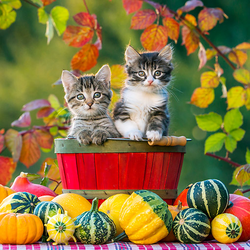 CAT 03 KH0667 01 © Kimball Stock Two Tabby Kittens Sitting In Wooden Bucket By Pumpkins And Gourds In Autumn
