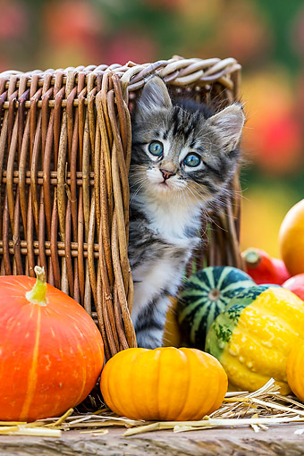 CAT 03 KH0674 01 © Kimball Stock Tabby Kitten Standing In Tipped Basket By Pumpkins And Gourds In Autumn