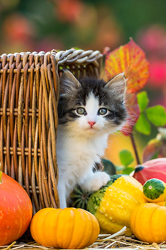 CAT 03 KH0675 01 © Kimball Stock Tabby Kitten Standing In Tipped Basket By Pumpkins And Gourds In Autumn