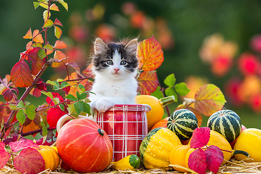 CAT 03 KH0676 01 © Kimball Stock Tabby Kitten Sitting In Jug By Pumpkins And Gourds In Autumn