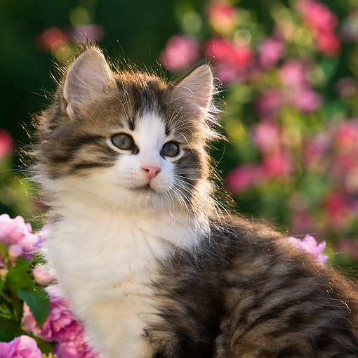CAT 03 KH0678 01 © Kimball Stock Tabby Kitten Sitting Thoughtfully In Bed Of Flowers