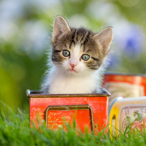 CAT 03 KH0685 01 © Kimball Stock Tabby And White Kitten Sitting In Tin Pot