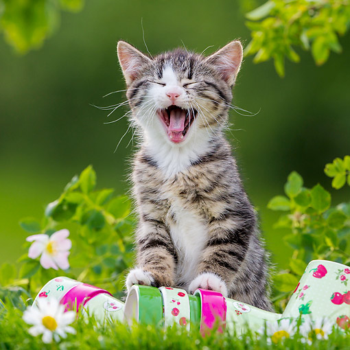 CAT 03 KH0686 01 © Kimball Stock Tabby And White Kitten Yawning On Flower Pots And Grass