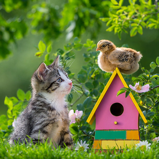 CAT 03 KH0693 01 © Kimball Stock Tabby And White Kitten Looking At Chick On Little House