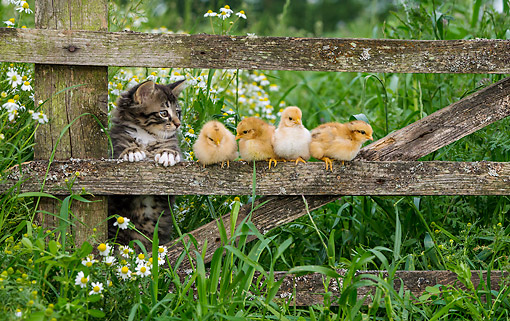 CAT 03 KH0699 01 © Kimball Stock Kitten And Baby Chicks On Old Fence